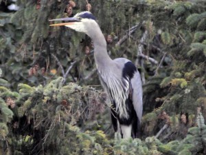 Blue Heron Scolding The Crow