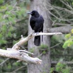 Terrel Creek Crow